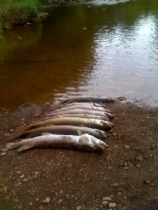 Dead fish in Dunkard Creek